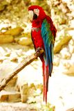 Chloroptera del ara del pappagallo Fotografie Stock
