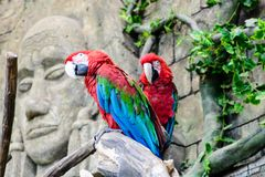 chloroptera vert rouge d'arums d'ara, deux perroquets sur une branche, Images stock