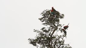 Chloropterus Ara 4 красно-и-зеленое ар холя свои пер на дереве в национальном парке Manu, Перу видеоматериал