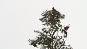 Chloropterus rojo-y-verde del Ara de cuatro macaws que prepara sus plumas en árbol en Manu National Park, Perú metrajes