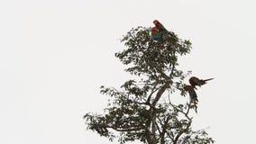 Chloropterus rojo-y-verde del Ara de cuatro macaws que prepara sus plumas en árbol en Manu National Park, Perú almacen de metraje de vídeo