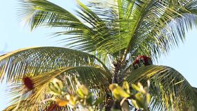 chloropterus Rojo-y-verde del Ara de los Macaws que come la fruta del coco en la palmera en Trinidad and Tobago metrajes