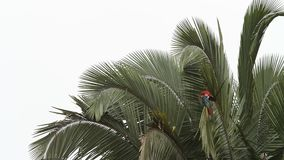 chloropterus Rojo-y-verde del Ara de los Macaws que prepara sus plumas en la palmera en Manu National Park, Perú metrajes