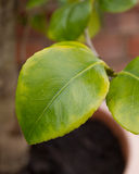 Chlorosis in a Camellia plant. Chlorosis - yellowing of leaves in a Camellia plant due to iron deficiency Stock Photos
