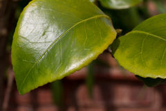 Chlorosis in a Camellia plant Stock Image