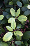 Chlorosis on the leaves of rhododendron Royalty Free Stock Images