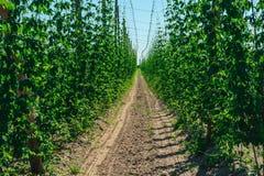 Chmiel plantacja w Wschodnim Polska Fotografia Royalty Free
