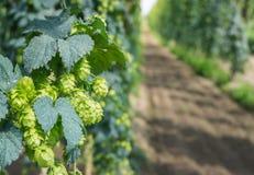 Chmiel roślina kultywująca dla specjalnego piwa w Flanders Zdjęcie Royalty Free