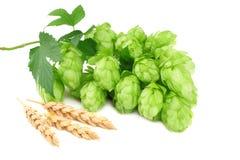 Chmiel rożki i pszeniczni ucho odizolowywający na białym tle Piwnego piwowarstwa składniki Piwny browaru pojęcie tła piwo zawiera zdjęcie royalty free