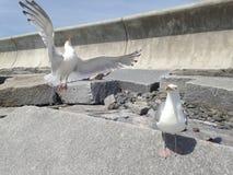 Chmielenia seagull Zdjęcie Royalty Free