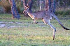 Chmielenie kangur Obrazy Royalty Free