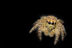 Chmielenie pająk - Ragno salterino Zdjęcia Stock