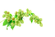 Chmielu kwiatu zieleni płatki Obrazy Royalty Free