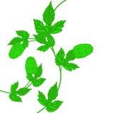 Chmielu liść i rożek Obrazy Royalty Free