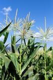 chmur kukurydzanego pola obrazka niebo Zdjęcie Royalty Free