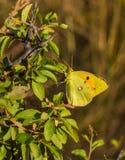 Chmurniejący Żółty motyl na zielonym krzaku Obraz Stock
