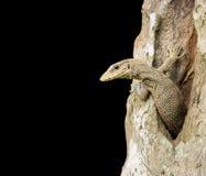 Chmurniejąca monitor jaszczurka w drzewie Zdjęcie Stock