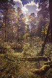 chmurnieje las Zdjęcia Royalty Free