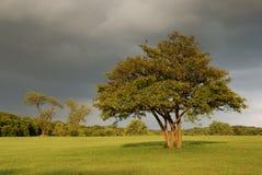 chmurnieje samotnego dębowego groźnego drzewa Zdjęcie Royalty Free