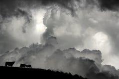 Chmury i bydło Zdjęcie Stock
