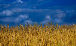 chmury odpowiadają pszenicy Obraz Royalty Free