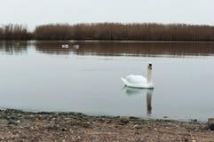 Chmurzący, łabędź, jezioro, rzeka, ptaki, waterfowl Obraz Stock