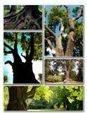 Chêne antique magnifique Photo stock