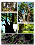 Chêne antique magnifique Image stock