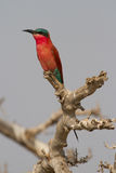 Chobe Carmine. A colorful adult Carmine bee-eater sitting on a dry branch Stock Image