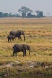 Chobe elephants. A small herd of African elephants feeding on an open plain next to the Chobe River, Botswana royalty free stock photos