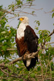 Chobe fish eagle Royalty Free Stock Image