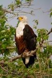 Chobe fish eagle Royalty Free Stock Image