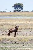 Chobe N.P. Botswana, Africa Stock Photography
