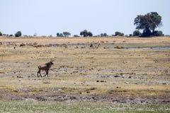Chobe N.P. Botswana, Africa Royalty Free Stock Images