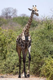 Chobe N.P. Botswana, Africa Royalty Free Stock Photo
