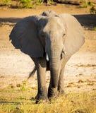 Chobe National Park Elephant Stock Images