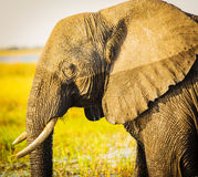 Chobe National Park Elephant Stock Photos