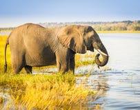 Chobe National Park Elephant Royalty Free Stock Photos