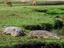 Chobe park Royalty Free Stock Photography