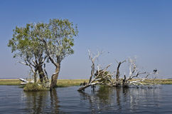 Chobe river. View with cormorant birds and trees royalty free stock images