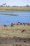 Chobe River, Botswana, Africa Stock Images