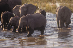 Chobe River Elephants. A herd of elephants coming back to the shore of Chobe River in Botswana Royalty Free Stock Image