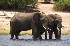 chobe safari Fotografia Royalty Free