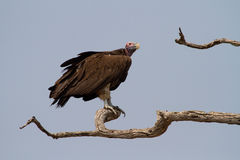 Chobe vulture Royalty Free Stock Images
