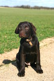 Choc Lab in the Countryside Stock Photos
