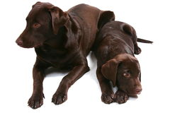 Choccy Lab Bros - Facing Apart royalty free stock images