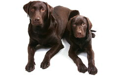 Choccy Lab Bros - Facing Forward Royalty Free Stock Photo
