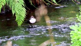 Chochli ptak, Cinclus, kąpanie, łasowanie i przygotowywać wzdłuż rzeki w Szkocja podczas Września, zdjęcie wideo