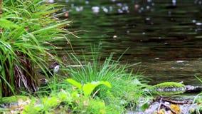 Chochli ptak, Cinclus, kąpanie, łasowanie i przygotowywać wzdłuż rzeki w Szkocja podczas Września, zbiory
