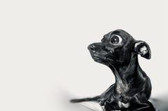 Chocka framsidan med någon information av den svarta hunden Royaltyfri Bild